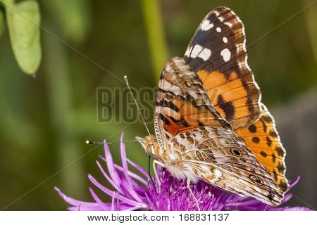 Close up of a butterfly feeding on purple flower