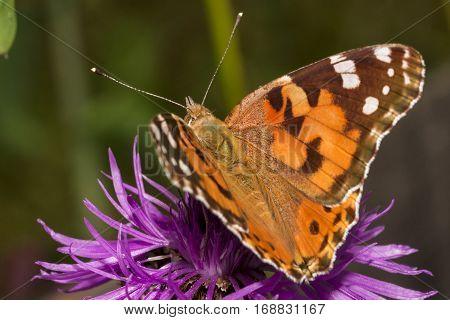 Butterfly feeding on purple flower on soft background