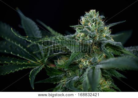Cannabis flower detail (mangolope marijuana strain) with visible hairs and leaves isolated over black background