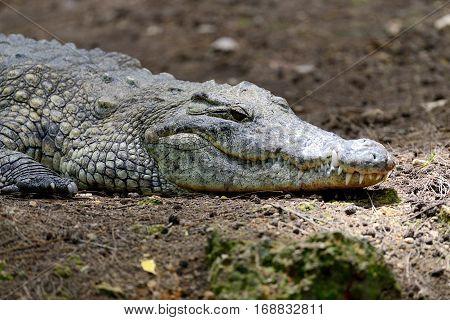 Crocodile In National Park Of Kenya, Africa