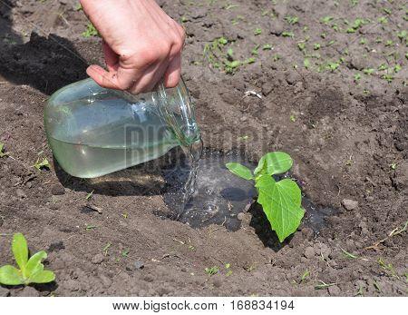 Watering cucumber seedling plant.Tutorial step by step.