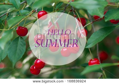 Hello summer, Ripe cherries on a tree branch close up