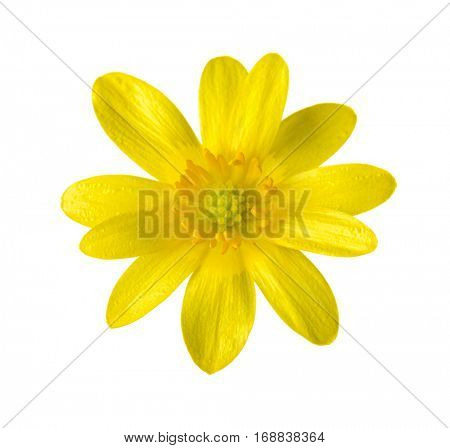 Yellow flower (Caltha palustris) isolated on white background.