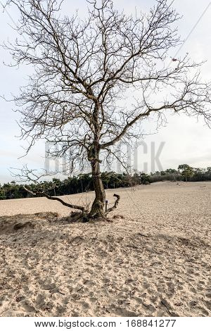 Solitary leafless tree in the dunes of drifting sands in a desert like Dutch national park at the end of the afternoon in the winter season.