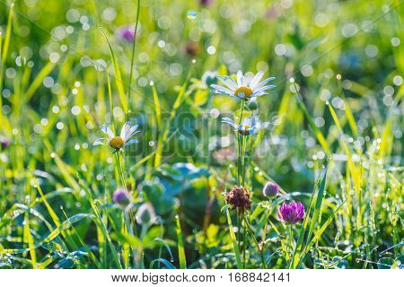 Summer meadow. Red clover flowers on the field.