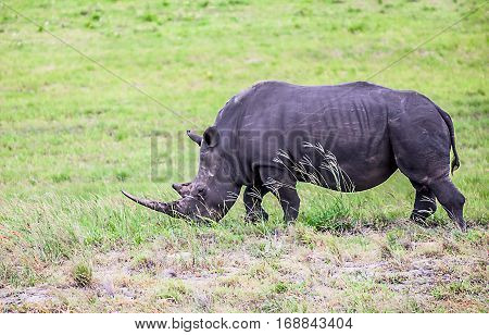 Rhino in the Greater St. Lucia Wetland Park