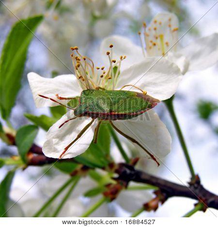 timber bedbug