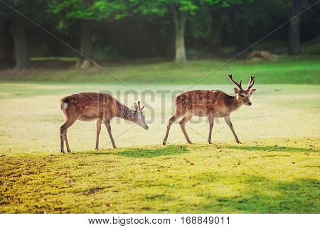 sacred sika deers at Nara park in the morning, Nara, Japan
