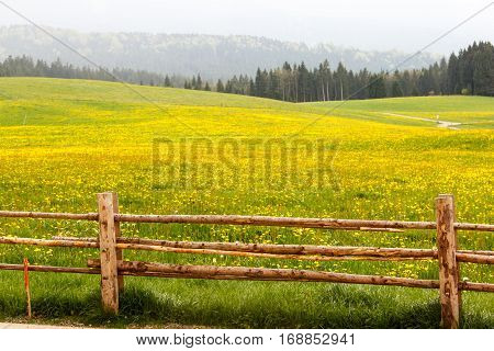 Meadows In The Mountains Overgrown With Yellow Flowers.