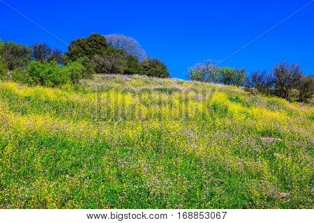 Legendary Golan Heights in a beautiful sunny day. Scenic carpet of spring flowers and fresh herbs. Israel