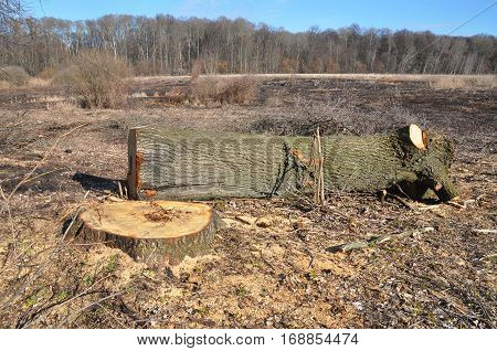Deforestation. Trees being cut down in a dense forest. Deforestation concept and when a tree falls in a forest that is being cut down for development as an icon for environmental damage .
