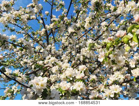 Spring tree flowers blossoming. Blossom spring fruit tree flowers.