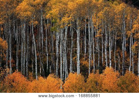 Golden aspen trees in Colorado's high  mountains