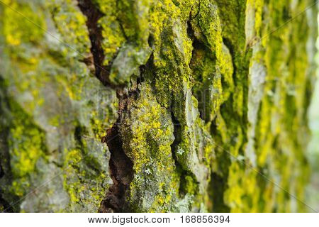 Tree bark with moss. The moss on the tree. Wooden texture. Green moss