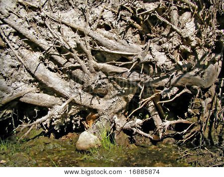 root tumbled tree