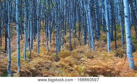 Thick aspen forest covered in brown ferns