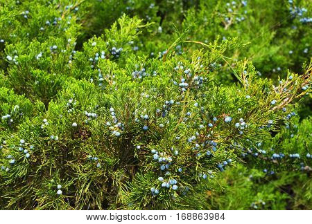 Green juniper with juniper berry as textured background.