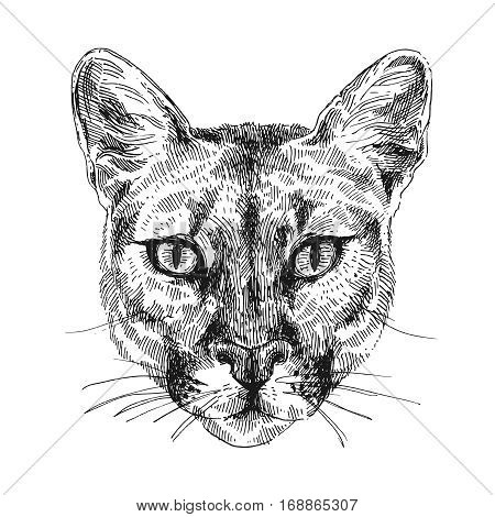 Hand-drawn vector illustration portrait of puma. Sketch style. Use for tattoo, poster, postcard, web, t-shirt print.