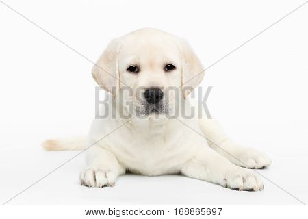 Unhappy Labrador puppy Lying and waiting on white background, front view