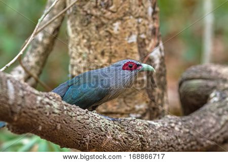 Beautiful of Green billed Malkoha (Phaenicophaeus tristis) great of cuckoo bird on branch