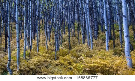 Aspen forest with brown, broad leaf fall ferns