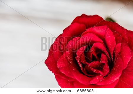 Rose flower Valentines day and Sweetest day