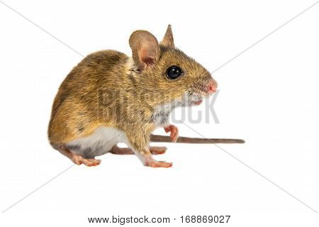 Cute Field Mouse On White
