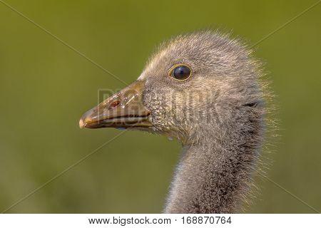 Cute Head Of Greylag Goose