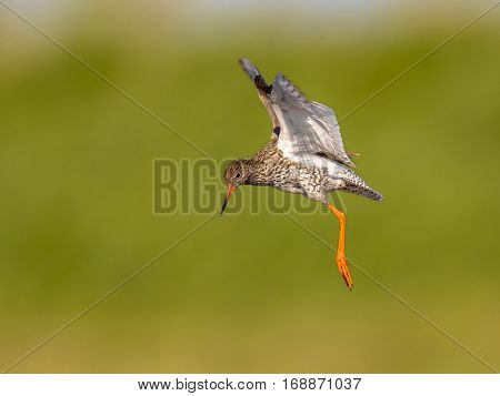 Flying Common Redshank Eurasian Wader Preparing For Landing