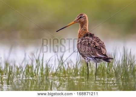 Black-tailed Godwit Wader Bird In Natural Marshland Habitat