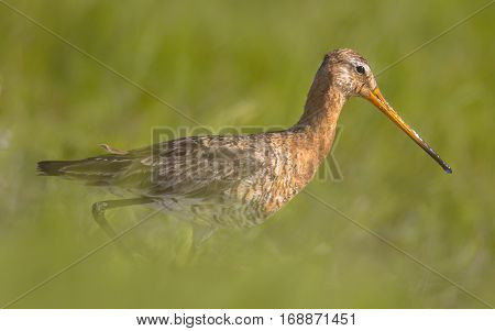 Black-tailed Godwit Wader Bird Walking In Long Grass