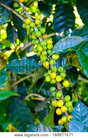 Coffee beans on the branch. Arabica Coffee.
