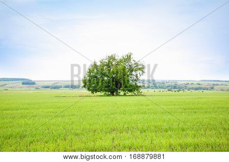 Lonely old oak tree in the field. The tree of wisdom.