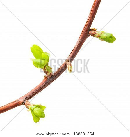 Crooked Twig With Buds