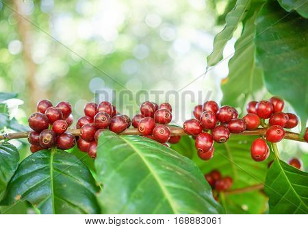 Fresh Coffee Beans On Tree