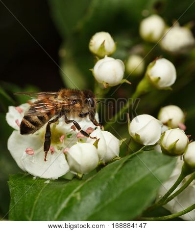 Bee On White Thorn Flowers