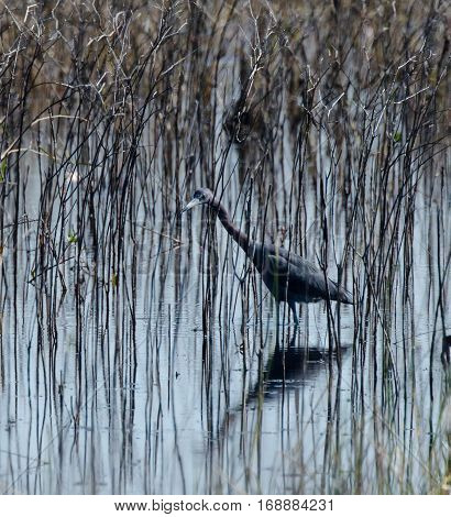 A little blue heron walking in the tall grasses in a marsh with its shadow