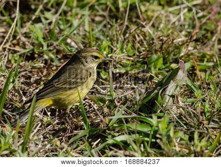A yellow palm warbler in green grass on the ground