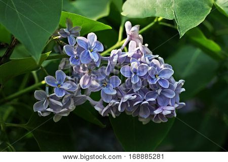 Branch of lilac closeup. Purple lilac flowers photographed against the background of lush green leaves.