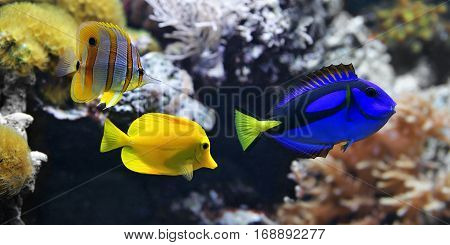 Sea fish Blue tang (Paracanthurus hepatus) Copperband Butterflyfish (Chelmon rostratus) and Yellow tang (Zebrasoma flavescens). These are the most popular aquarium fish of the sea