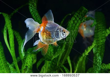 Goldfish aquarium a fish on the background of aquatic plants