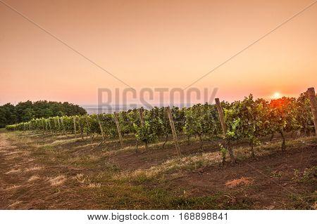 beautiful grape field in the morning at dawn