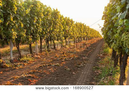 beautiful grape field in the morning at dawn