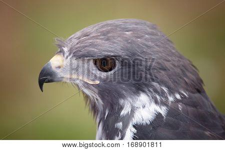 Close-up Portrait of a Raptor, Oregon USA
