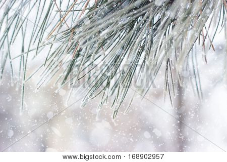 Close up of a pine tree with hoarfrost