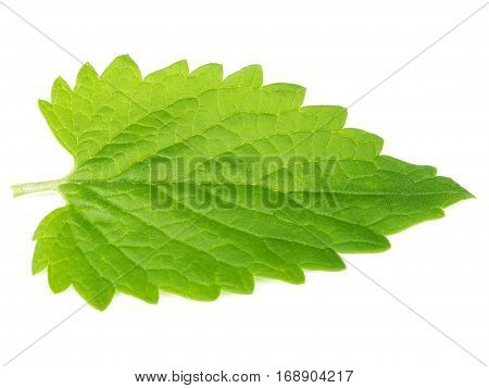Green mint leave isolated on white background