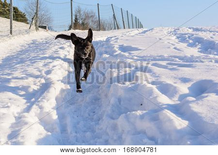 Black dog running fast in the snow
