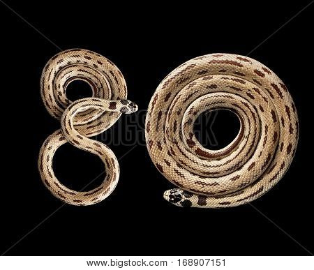 Two Eastern kingsnakes or common king snakes, number 80 Lampropeltis getula californiae, isolated black background
