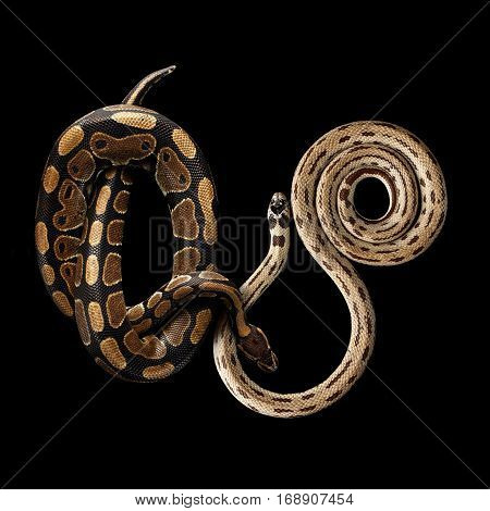 Two Eastern kingsnakes or common king snake and Ball or Royal python, isolated black background