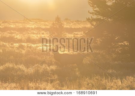 a bull elk in the rut silhouetted at sunrise